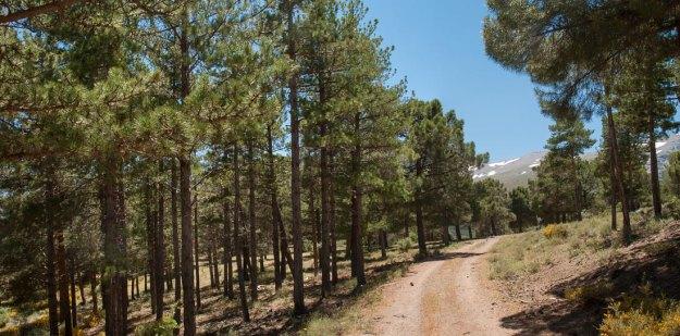 Tras cruzar el arroyo, el camino aborda una suave ladera poblada de buenos pinos…