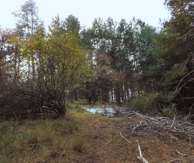 Los últimos pinos se alzan justo sobre la cresta. Hacia ellos nos dirigimos.