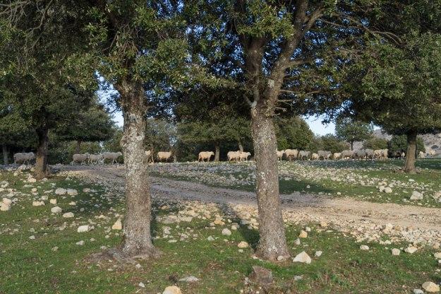 …arreando ovejicas a nuestro paso. Estas se arrejuntaron a la derecha, sabiamente.